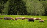 Vindem porci și carne de porc din rasa Mangaliță
