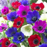 Bulbi de anemoner mixte Pachet 10 bulbi