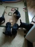 Yorkshire Terrier 7 saptamani