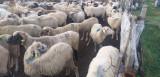 Oi  și capre!!!
