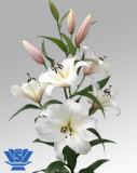 Bulbi =Crini Oriental parfumat   -CRYSTAL BLANCA    cu 8 Ron/2buc