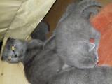 Vand pisica scottish fold