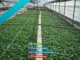 Rasad tomate rosii vinete castraveti ardei 2021 | Vand Rasaduri Legume