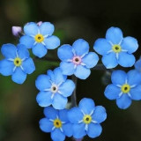 MYOSOTIS SYLVATICA / Flori de nu ma uita   / 10 seminte pentru semanat
