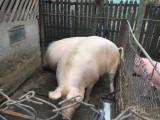 Porci mari