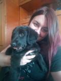 Metis labrador
