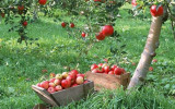 Mere de vanzare din soiurile Florina si Idared, pret 1,20 lei/kg, Farmer Brand