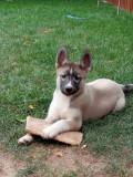 Vând pui de husky