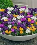 Bulbi  Brănduşe Grandiflora  MIX   110 bulbi  cu  60 Ron