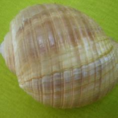 Scoica oceanica 2