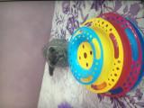 Pisica Scottish Fold, Royal Canin