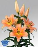 Bulbi =Crini  Oriental  Urias parfumat  -ZELMIRA    cu 10 Ron/2buc