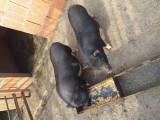 De vanzare 2 porci vietnamez impreuna