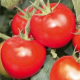 Seminte tomate rotunde medii BUZAU 47