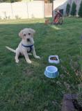 Labrador retriever gold
