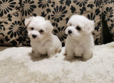 Bichon toy, Royal Canin