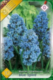 Muscari Blue Spike ( 10 bulbi )