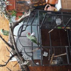 Vand papagali Marele Alexandru