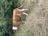 Vaca de vânzare Bălțată Românească