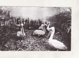 bnk cp Tulcea - Muzeul Delta Dunarii - Diorama pelicani - uzata