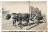 C1929 Car cu boi studio Ioan Gheorghe Poiana , Sibiu poza veche