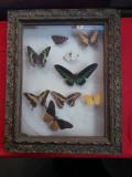 Diorama fluturi exotici - lot 1