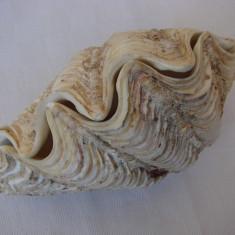 Impresionanta scoica de dimensiune mare 15 x 9 cm (7)
