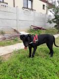 Cățelușă cane corso