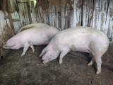 Porci de vanzare!