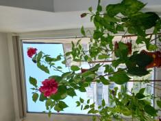 trandafiri japonezi rosu si bordo foto