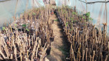 Aluni,stejar,carpen micorizati cu trufe tuber aestivum, Plant