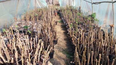 aluni,stejar,carpen micorizati cu trufe tuber aestivum foto
