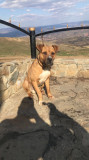 Câine Amstaff terrier, Collecta