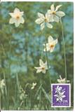 (No1) ilustrata maxima-FLORI -Narcisa