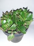 Vand plante exotice, Kalanchoe Blossfeldiana, Plant
