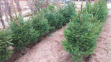 Molid, (Picea abies), Inaltime 1,4- 1,8 m