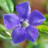 Vinca major-Blue