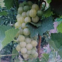 Vand vin alb,Mustoasa de Maderat tel 0743137984