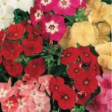 Seminte flori Scanteuta, melanj