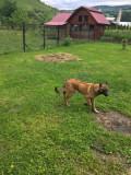 Câine ciobănesc belgian malinois