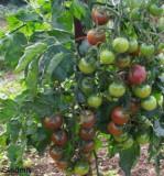Seminte Tomate Black cherry, 0.5 gr.