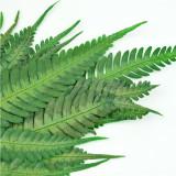 Feriga Amazon verde 50cm
