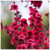 LEPTOSPERMUM SCOPARIUM - 100 seminte pentru semanat ! Planta de miere si ceai