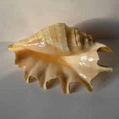 SCOICA OCEANICA