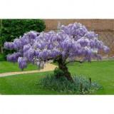 Seminte Glicina chinezeasca planta cataratoare decorativ arbore ornamental, Plant