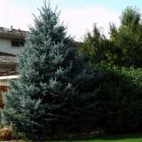 Molid argintiu, (Picea Pungens var.Glauca), radacina nuda/balot, Plant