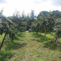 Vand prune din Arges pentru palinca