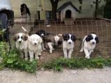 Câine ciobănesc de Bucovina (pui)