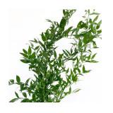 Cumpara ieftin Planta conservata Ruscus verde 50cm 130gr