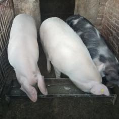 Porci grași